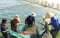 TCTD khoanh nợ đối với người nuôi tôm, cá tra được tái cấp vốn với lãi suất 0%