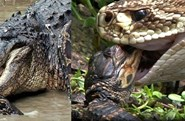"""Cận cảnh khoảnh khắc săn mồi của rắn """"khủng"""" và bầy cá sấu"""