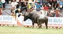 Vụ trâu chọi Đồ Sơn húc chết người: Bài học về đối xử bạo lực với con vật!