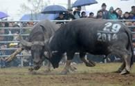 """Vụ trâu chọi húc chết người ở Đồ Sơn: Có nên """"dẹp"""" những lễ hội bạo lực?"""