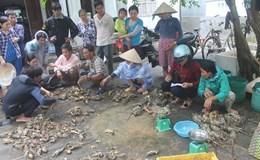 Phú Yên: Hơn 500 nghìn con tôm hùm nuôi đã bị chết