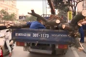 Chủ tịch UBND TP Hà Nội quyết định dừng chặt hạ cây xanh