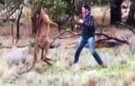 Người đàn ông tung cú đấm trời giáng vào mặt kangaroo