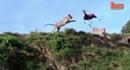 """""""Choáng"""" với pha bay người tóm gọn linh dương của sư tử"""