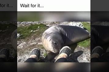 Hải cẩu ngã lăn quay sau khi ngửi chân người