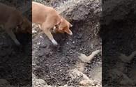 Chú chó đào hố chôn bạn bị chết vì tai nạn giao thông