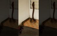 """Video sốc: Rắn hổ mang khổng lồ """"mò"""" vào nhà dân"""