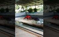 Kinh hoàng: Cá sấu đột ngột ngoạm chặt đầu người đàn ông trong lúc biểu diễn
