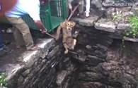 Cuộc giải cứu ngoạn mục sư tử bị rơi xuống giếng nước sâu 24m