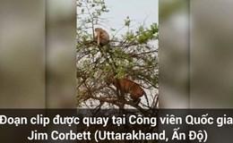 """Video: Hổ """"bẽ mặt"""" vì thích """"thể hiện"""" leo cây bắt khỉ"""