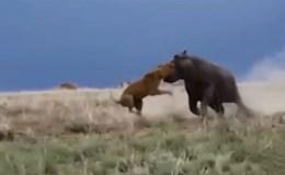 """Video: """"Trêu ngươi"""" hà mã, sư tử suýt mất mạng"""
