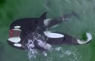 Khoảnh khắc cá voi sát thủ xé nát hải cẩu không thương tiếc