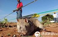 Chuột được biên chế vào lực lượng cảnh sát chống ma tuý