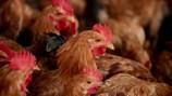H7N9 biến đổi nhanh gấp 8 lần virus cúm thường