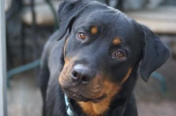 10 loài chó hung dữ cực kỳ nguy hiểm không chỉ với trẻ nhỏ