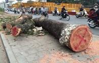Yêu cầu đình chỉ những cán bộ liên quan trực tiếp đến việc chặt hạ cây xanh