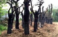Chỉ 70-80% số cây chuyển từ phố Nguyễn Chí Thanh về vườn ươm sống được