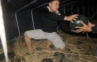 Nghệ An: Trắng đêm bốc dỡ dưa bán giúp nông dân