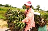 """Thừa Thiên - Huế: Thương lái cũng đổ xô """"săn"""" cau non xuất sang Trung Quốc"""