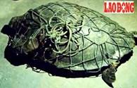 Quảng Bình: Ngư dân bắt được rùa biển quý hiếm
