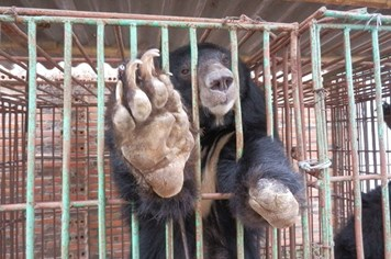 Kết thúc thành công chiến dịch cứu đàn gấu ngựa tại Quảng Ninh