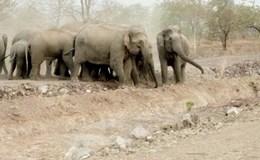 Đắc Lắc: Đàn voi rừng tiếp tục về khu dân cư phá hoại
