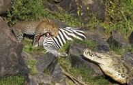 Kinh hoàng cảnh ngựa vằn bị báo vồ, cá sấu săn đuổi