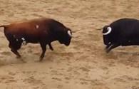 Kinh hoàng cú húc trời giáng khiến hai con bò tót chết tại chỗ