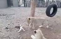 Chó con liều mình đấu 3 sư tử bảo vệ thức ăn