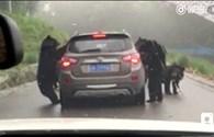 """Du khách """"dựng tóc gáy"""" vì bị bầy gấu vây quanh ô tô"""