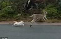 Video: Mèo rượt đuổi kangaroo chạy bán sống bán chết trên phố
