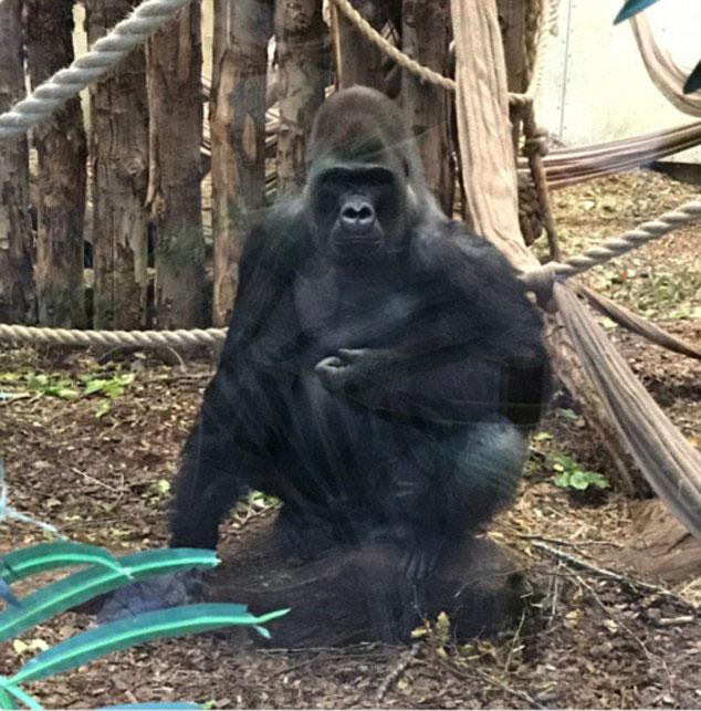 xem ảnh tải ảnh Xem Ảnh đọc báo tin tức   Đáng sợ khoảnh khắc khỉ đột nổi điên đập vỡ kính trốn khỏi vườn thú | Du lịch |    và truyện phim nhạc xổ số bóng đá xem bói tử vi