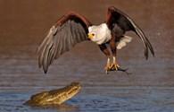 Đại bàng liều lĩnh cướp mồi ngay miệng cá sấu