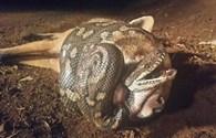 Cáo đói liều lĩnh tấn công rắn và nhận kết cục bi thảm