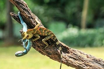 Tắc kè hoa đại chiến sống còn với rắn độc trên cành cây