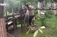 """Hài hước gấu trúc đấu võ kiểu """"kungfu panda"""" trong vườn thú"""