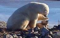 Khó tin cảnh gấu trắng Bắc cực vuốt ve chú chó nhỏ như thú cưng