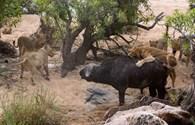"""Kịch tính cảnh đàn sư tử """"quây"""" trâu rừng nặng nửa tấn"""