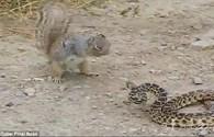 Khó tin cảnh sóc đói liều mạng tấn công, cắn chết rắn ăn thịt