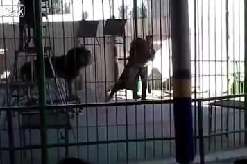 Kinh hoàng khoảnh khắc sư tử bất thình lình vồ người huấn luyện thú