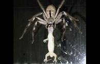 Đáng sợ nhện khổng lồ hung dữ ăn tươi nuốt sống thạch sùng