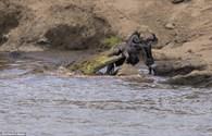 Bị cá sấu đói tấn công, linh dương đầu bò thoát chết kỳ diệu
