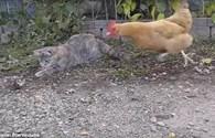 Gà táo tợn cướp chuột ngay trước miệng mèo