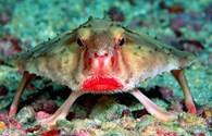 Cận cảnh con cá kỳ lạ có bộ mặt của quỷ, đôi môi đỏ chót
