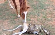 Ngựa thản nhiên đứng xem trăn nuốt chửng con mồi