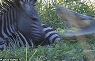 Ngựa vằn phản xạ cực nhanh thoát cú đớp tử thần của cá sấu