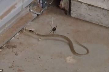 Rắn khốn đốn vì mắc bẫy, bị nhện độc tấn công