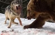 Cuộc chiến đẫm máu giữa gấu và đàn sói đói để giành miếng ăn