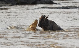 """Linh dương đầu bò thoát chết kỳ diệu khi liều bơi qua """"sông cá sấu"""""""