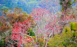 Hoa gạo khoe sắc đỏ rực núi rừng Tà Năng